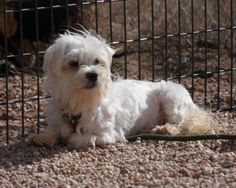 Adopt Art, a lovely 2 years  2 months Dog available for adoption at Petango.com.  Art is a Maltese and is available at the National Mill Dog Rescue in Colorado Springs, Co. www.milldogrescue... #adoptdontshop #puppymilldog #rescue #adoptyourfriendtoday