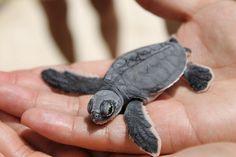Babu turtle