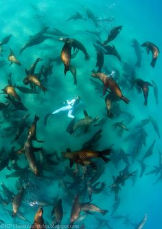 Snorkeler and Californian Sea lions, La Paz, Mexico - by Joost van Uffelen