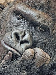 Lowland Gorilla, Richard by Milan Vorisek, via Flickr