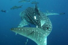 """Learning how to dive in Koh Tao, Thailand, is a rite of passage for many long-term travelers...And swimming with the whale sharks on """"Chumporn Pinnacle"""" is the highlight! #gaytravel #thailand"""