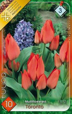Greigii-tulipán 'Toronto' Toronto, Plants, Plant, Planets