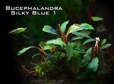 Bucephalandra Collection - rare plants from Borneo Aquarium Garden, Planted Aquarium, Aquarium Fish, Freshwater Aquarium Plants, Rare Plants, Aquatic Plants, Plant Species, Tropical, Borneo