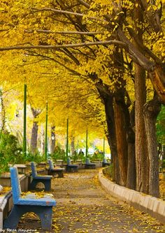 Planning for fall color- Blue benches, always beautiful and refreshing in the garden, pair well with autumn yellows.  -- tehran,amirabad