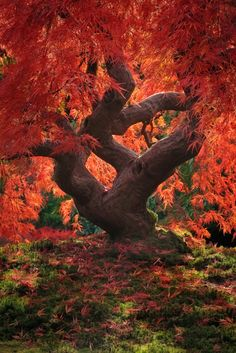 Dragon tree Japanese maple) at the Portland Japanese Garden in Oregon. ~ Ray & I have visited the Portland Rose Garden, but haven't seen the Japanese one yet. All Nature, Amazing Nature, Science Nature, Nature Tree, Nature Pics, Beautiful World, Beautiful Places, Beautiful Pictures, Beautiful Dragon