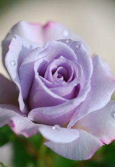 Rose in Violet | Flickr - Photo Sharing!