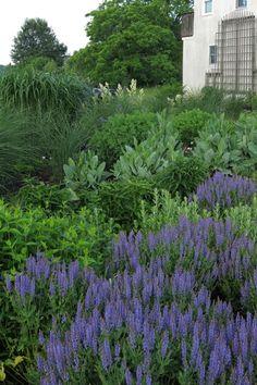 "Sunny Garden of Miscanthus giganteus, Miscanthus gracillimus, Salvia ""Blue Hill"" (Meadow Sage), Rudbeckia maxima (Coneflowers), Pycnanthemum muticum (Mountainmint), Perovskia (Russian Sage), Persicaria polymorpha (Knotweed)"