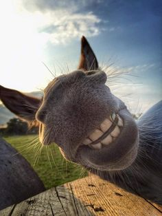 If you wonder what a donkey can eat, you can find all important feeding facts here. Take good care of your donkey with best information. Smiling Animals, Happy Animals, Farm Animals, Animals And Pets, Funny Animals, Cute Animals, Horse Smiling, Beautiful Horses, Animals Beautiful