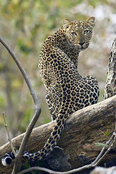 Jaguar - big cat Check our pawsome store if you love Cats! Jaguar Leopard, Leopard Animal, Jaguar Animal, Brown Leopard, I Love Cats, Big Cats, Small Wild Cats, Beautiful Cats, Animals Beautiful