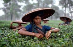 Tea Estate, Bangledesh