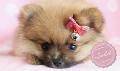 Tiny Teacup Pomeranian puppies available in our store.Your Micro Teacup Pomeranian puppy is conveniently small and cute. Find your tiny Pomeranian ur boutique. Pomeranian Puppy For Sale, Teacup Puppies For Sale, Teacup Pomeranian, Yorkie Puppy, Cute Puppies, Cute Dogs, Dogs And Puppies, Doggies, Little Dogs