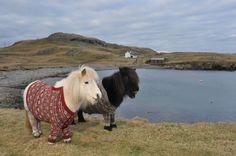 Awww…Shetland ponies in woolly jumpers!