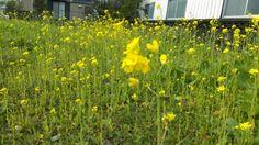 Flowers of wild mustard, (Brassica juncea) not rapeseed . Can Spring be far behind? セイヨウカラシナの花。菜の花ではない。春とおからじ...というのは19世紀のイギリスの詩人シェリーが言い出しっぺとのこと。