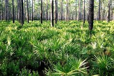 Only 30 miles southeast of #Gainesville, #Florida is the 607 square mile (383,000 acres) #Ocala National #Forest.  This picture shows #Palmettos and #Pines in a #Wilderness Area.  www.GainesvilleFloridaHomes.com  Contact Mark Cohen, #Realtor & #Broker, #MarkCohen  #Home  #House  #Condo  #Land  #RealEstate  #Property  #ForSale  #Eyemark