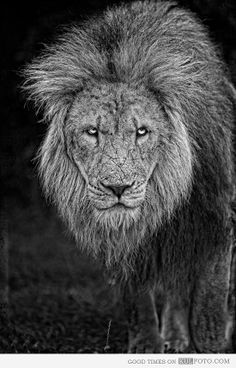 Retired King - Amazing close up photo of an old lion with grey hair and wrinkled face looking majestic. I Love Cats, Big Cats, New Pictures, Animal Pictures, Animal Categories, Mundo Animal, Here Kitty Kitty, Interesting Faces, Oeuvre D'art