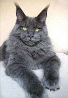 Blue Russian cat...what is this, a maine coon and russian blue cat mix? talk about a cat on guard!
