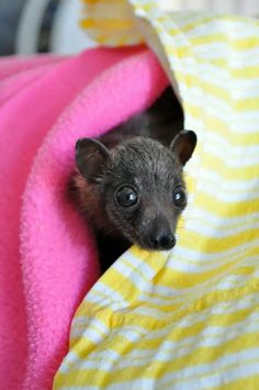 Baby flying fox from Tolga Creatures Of The Night, Cute Creatures, Beautiful Creatures, Beautiful Cats, Animals Beautiful, Tree Rat, Baby Animals, Cute Animals, Bat Flying