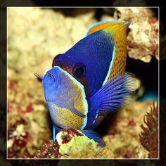 Euxiphipops navarchus | Flickr