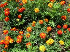 Marigolds. I remember everyone loved marigolds...they needed little water.