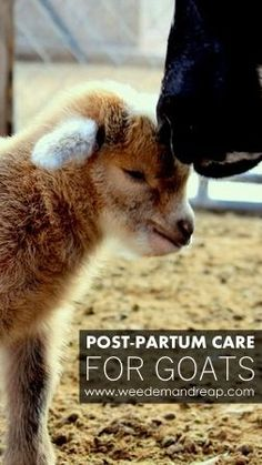 Holistic Post-Partum Care for Goats - Weed'em & Reap | goat | goats | kidding | birth | delivery | animals | farm