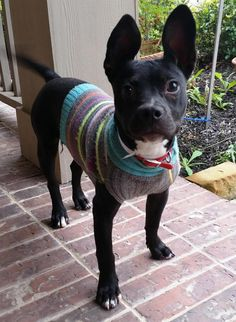 Meet Silly Tilly, a Petfinder adoptable French Bulldog Dog | Kingston, MA | Silly Tilly is a 6 mo old Frenchie mixed with Staffie.  She's 20 lbs and likely full grown.  She is...