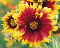 Blanket Flower - Their colors resemble those of Native American blanket patterns.  They are bright, cheery and tolerant of drought.