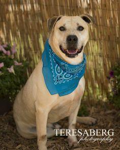 08/02/14 sl ~George~ Labrador Retriever & Yellow Labrador Retriever Mix • Adult • Male • Large Hope for Paws Lavon, TX