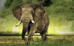 Image result for african wallpapers Birthday Card Template, Birthday Cards, Fun Facts, Awesome Facts, Animals Beautiful, Elephant, African, Wallpapers, Image