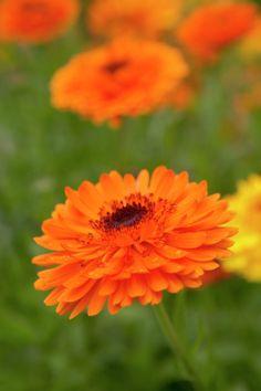 Pot Marigold • Calendula officinalis • Plants & Flowers • 99Roots.com