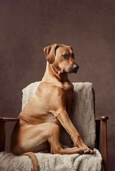 The Rhodesian ridgeback is a dog breed developed in Rhodesia. Its European forebears can be traced to the early pioneers of the Cape Colony of southern Africa, who crossed their dogs with the semi-domesticated, ridged hunting dogs of the Khoikhoi.