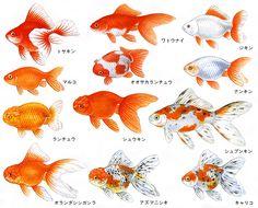 金魚 - Google 検索
