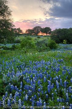 bluebonnet pictures in texas | Eastet Bonnets : Spring 2012 : Texas Wildflowers by Gary Regner ...