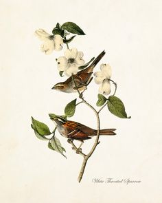 VINTAGE AUDUBON WHITE THROATED SPARROW GICLEE CANVAS PRINT A timeless Audubon bird study has been digitally restored and added to a lightly aged vintage background which retains some of the original i