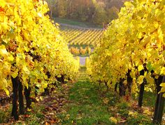 Autumn Vineyard by Habub3, via Flickr #ridecolorfully - One of my dreams is to own a vineyard and go horseback riding or jet around on a Vespa....
