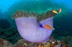 Pink anemonefish (Amphiprion perideraion) in a purple magnificent sea anemone (Heteractis magnifica), Misool, Raja Ampat, West Papua--frigging fantastic photo--Kudos mate!
