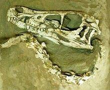 """Skull of theVelociraptor mongoliensis""""Fighting Dinosaurs"""" specimen"""