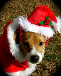 Santa Paws Puppy Nacho the Jack Russell