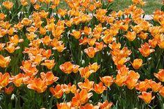 Holland Tulipánok Fesztiválja