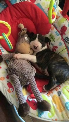 Mini Bull Terriers, Miniature Bull Terrier, Bull Terrier Puppy, English Bull Terriers, Terrier Puppies, Cute Puppies, Cute Dogs, Dogs And Puppies, Best Dog Breeds