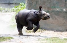 2 endangered rhinos have given birth says UK group