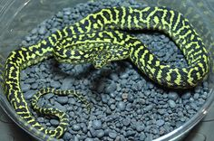 Female zebra carpet python CB2014.  $600AUS(~£280)