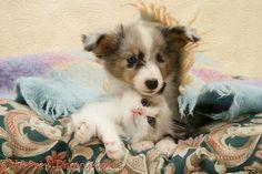 Birman-cross kitten and Sheltie pup under a scarf