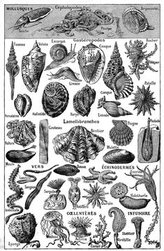 Black and White Seashells Drawings   Vintage Clip Art – French Dictionary Page – Seashells