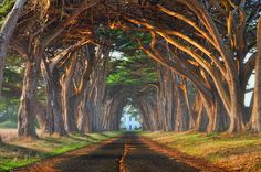 Tree Tunnel. Tunnel of Monterey Cypress Trees leading to the RCA Marconi Coast Station in Point Reyes.