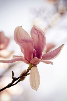 Pink Magnolia's Widely Grown In Southern England & East/West Coast of U.S.