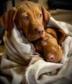 Vizsla Puppies, Weimaraner, Vizsla Dog, Dog Training Tools, Bernedoodle Puppy, Hungarian Vizsla, Dog List, Red Dog, Dog Boarding