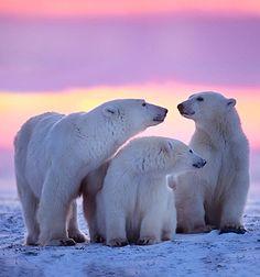 ☆ Polar bear over purple ☆