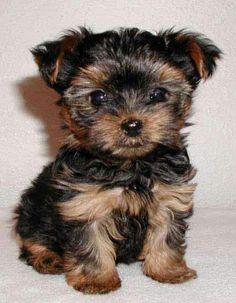 Cute dog: yorkie terrier