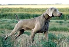 For Me!!  Weimaraner.....when we have a home....
