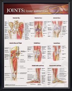 Joints: Lower Extremities anatomy poster shows key bones, muscles, tendons, nerves and arteries of hips, legs and feet. Muscles for doctors and nurses.